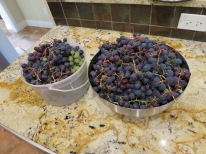 Concord Grapes - Copy