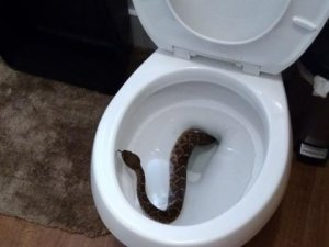 rattlesnake-in-toilet